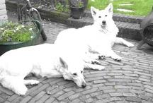 White sheperd / White swiss sheperd