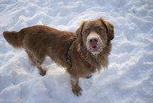 My dogs / Novascotianducktollingretrievers ❤️