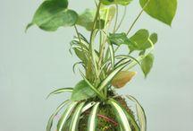 japanese hanging plants kokedama