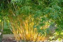 """Clumping Bamboo / A companion to our article on slow-spreading, clumping bamboo varieties in the Nov/Dec issue of """"The American Gardener"""" magazine   ahsgardening.org/gardening-resources/gardening-publications/the-american-gardener/november-december-2016-issue"""