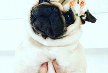 Pugs ....