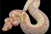 Pythons .snakes and other  cold blooded creatures