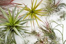 Air Plants & Bromeliads / Air plants and bromeliads make for great, colorful houseplants