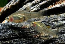 Tropiske fisker
