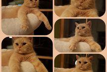 Britisch Kurzhaar Katzen / i LOVE cats edle Rassekatzen