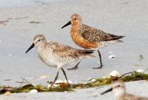 Island Wildlife / The wonderful animals that call Hatteras Island home.