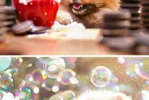 Pomeranians / Cute little fluffy dogs
