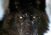 WOLF(Lobo)
