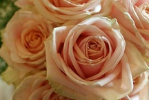 Orange beauty of Pearl Avalanche / Pearl Avalanche - large-headed pastel rose, perfect addition to every wedding and event!