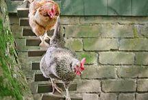 von Hühnern & Enten