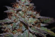 Strain: Stone99 / Stone99 is new cross by breeder Stone. It`s currently in testing for its medical benefits.