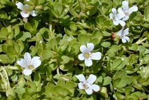 White Flowering Herbs