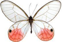 チョウ / チョウ(蝶)は、昆虫綱チョウ目(鱗翅目、ガ目とも)のうち、Rhopalocera に分類される生物の総称である。  チョウ目の21上科のうち、アゲハチョウ上科、セセリチョウ上科、シャクガモドキ上科の3上科が、いくつかの特徴を共有し、Rhopalocera に分類される、すなわちチョウである。
