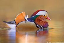DUCKS / Ducks I love