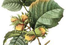 Акварель(ботаника)