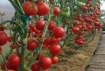 Odrody rajčín a iné