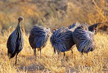 SECRET Guinea Hens / Some ideas for the Guinea fowl boards