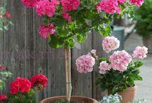 Герань,  пеларгония / geranium