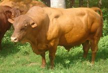 Caribbean Island Cattle Breeds #1