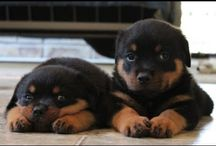Cutest Rottweiler Puppies Of All Time
