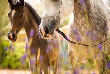 HORSES ~ ARABIANS