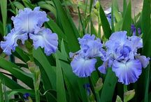 Fleur de Lis / Of all the flowers in the world, Iris are my absolute favorite. It inspired the Fleur de Lis symbol used by the French. It comes in many different varieties, shapes, and colors. / by Donna Cox