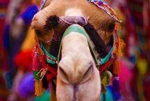 Camels <3