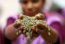 """Kahve Hakkında / Kahvenin anavatanı olan Etiyopya'nın yüksek yaylalarındaki yerli halk kahve bitkisinin tanelerini un haline getirip bir çeşit ekmek yapıyordu. Meyveleri kaynatıldıktan sonra suyu içilmek suretiyle tıbbi amaçlı kullanılıyor ve """"sihirli meyve"""" olarak adlandırılıyordu."""