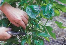 Herbs Plans