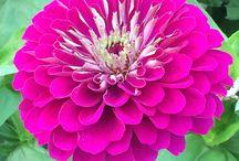 Flower Varieties Grown by Us / Varieties grown at the Homegrown Flower Company