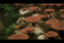 Ganoderma / Ganoderma Lucidum contains the most powerful nutrients that can help the human body to maintain its natural state of good health. It also improves its level of health if there are problems . Ganoderma Lucidum works completely on the body and not on the disease. Ganoderma Lucidum enhances and promotes the strengthening of your natural immune system, balancing the body and as a result treats itself for a wide range of health problems.  / by geniusofcoffee .com