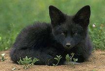 ♡BLACK FOX♡