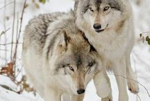 Wolves  / Wise, loyal, noble brothers of the wild who's soothing howl can be heard in the deepest forests under a blue moonlit night. They keep deer and vermin population in check, they eat carrion, stopping spread of diseases and they gave us the greatest gift of all - Dogs. Now man has betrayed our wild brothers, forgotten their beauty and value as necessary predators. Man grew ignorant, greedy, selfish, arrogant and bloodthirsty...unable to coexist. Stop killing wolves, they have the right to live too. / by Shinrin Art