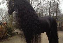 Koně fris