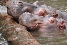 Hippo - my favorite animal