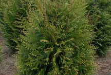Trees from our Farm / These are just a few of our most popular trees we sell at Worthington Farms.