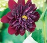 purpur Garten