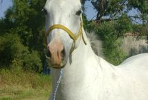 Hannies horses / Arab horses etc