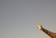 Giraffes / One of my favorite animals are giraffes! / by Kayla Sewell
