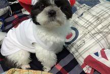 Puppy / My Princess Gilda #puppy #shitzu