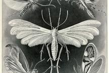 Ernest Haeckel  / by Ruth Brusuelas