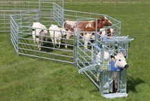 IAE Cattle Handling