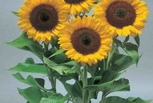 Helianthus / Sunflowers, Helianthus seeds for professional production of cut flowers en bedding plants.