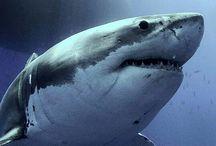 Žraloci