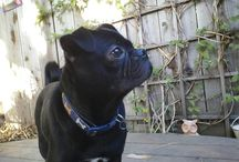 My cute black pug, Dexter and friends. / by Cheryl Letson