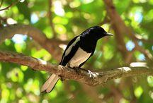 Cara Mengetahui Ciri-Ciri Burung Kacer Juara dan Berkualitas Bagus