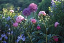 Peonies, Roses & Irises / Peonies, Roses & Irises / by Gill Martin Planting by Design