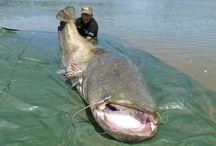 Unusual Fish / Odd ...and BIG Fish around the world