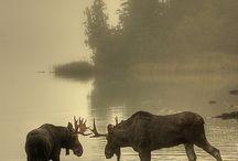 Moose! / by Kaytlin Honken