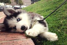 My dream dog that i'm never gonna get